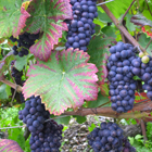 framboiser (raisin rouge de treille)